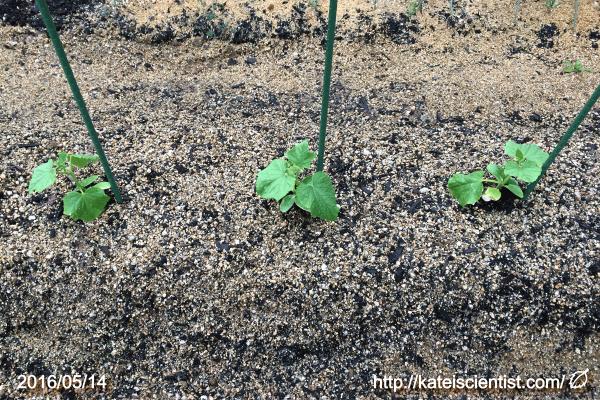 cucumber-seedling_2016spring_st01
