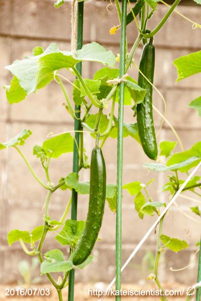 cucumber-seedling_2016spring_st06
