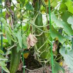 cucumber-seedling_2016spring_st12