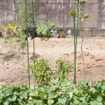 cucumber-seedling_2016spring_st17