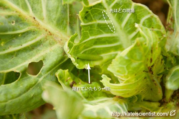 green-caterpillar_st04