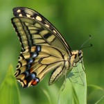 Papilio_machaon_on_grass