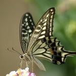 Papilio_xuthus_1024px