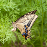 eye_spawning-swallowtail-butterfly