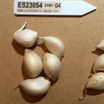 garlic_yamada-2016summer_st05