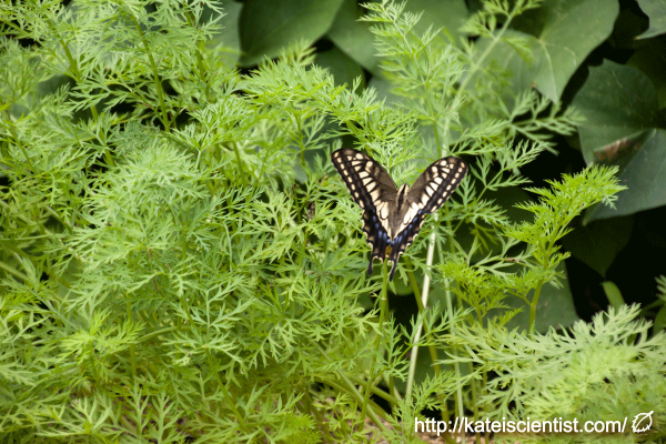 spawning-swallowtail-butterfly_st01