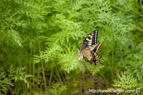 spawning-swallowtail-butterfly_st02