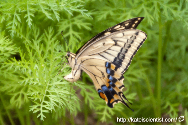 spawning-swallowtail-butterfly_st03