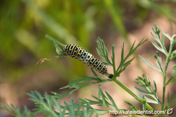 spawning-swallowtail-butterfly_st08