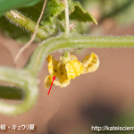 cucumber-aphid-damage201608_st02