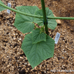 cucumber-aphid-damage201608_st09