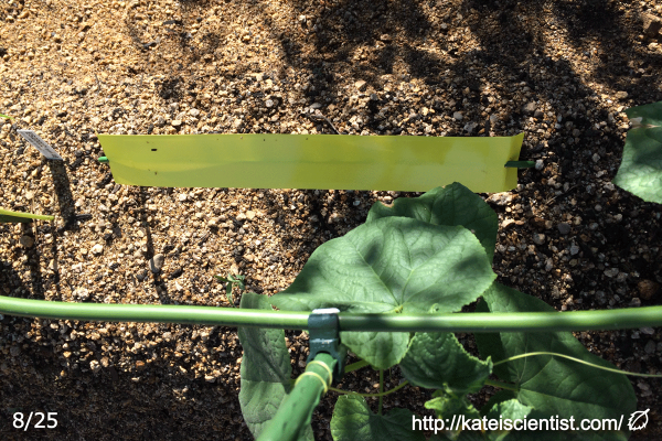 cucumber-aphid-damage201608_st11